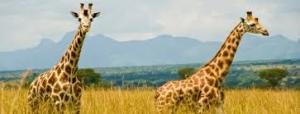 Giraffe In Kidepo Valley