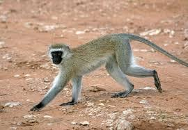 Vervet Monkey - common along the Nile